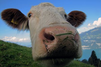 cow-542815_960_720.jpg
