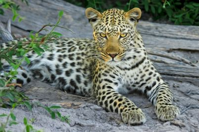 leopard-515508_1920.jpg